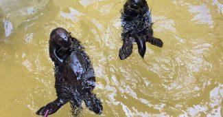 Océanopolis : Deux nouvelles loutres d'Alaska !